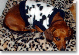 Dachshund My Leopard Pillow
