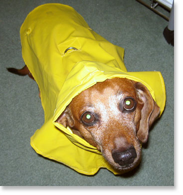 Dachshunds hate the rain.