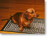 Dachshund says why lay on the floor when there's a a rug handy?